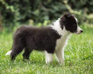 Border Collie a Piacenza