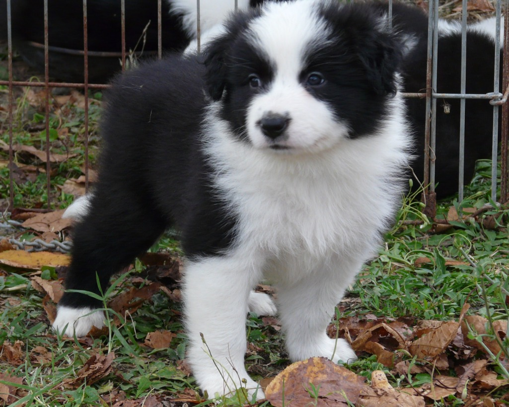 Border Collie allevamento enci