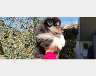 Collie a Siena