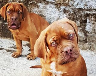 Dogue de Bordeaux a Roma