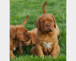 Dogue de Bordeaux a Trapani