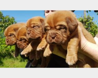 Dogue de Bordeaux a Pavia