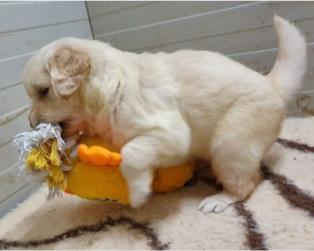 Vendita Cani Taglia Media: CUCCIOLATA GOLDEN RETRIEVER -ALL.GOLDEN STREET