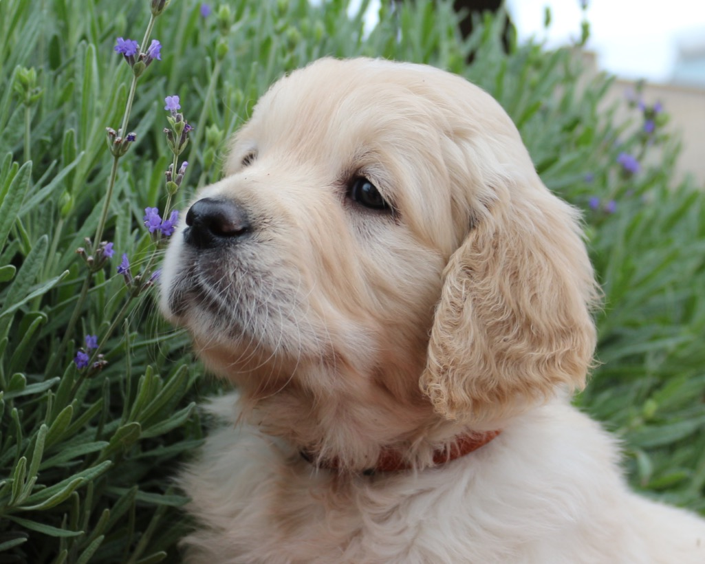 Cuccioli Golden Retriever - IMMAGINARIUM
