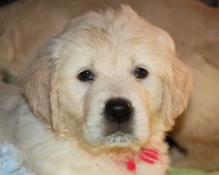 Vendita Cani Taglia Media: Disponibili cuccioli Golden Retriever