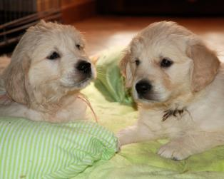 Vendita Cani Taglia Media: Disponibili cuccioli Golden Retriever con pedigree