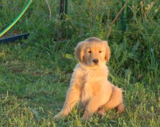 Golden Retriever a Carbonia-Iglesias