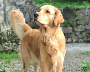Vendita Cani Taglia Media: Golden Retriever