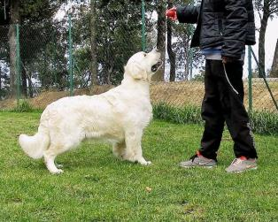 Golden Retriever a Perugia