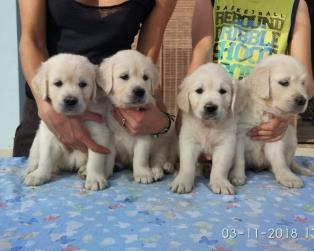 Golden Retriever a Vicenza