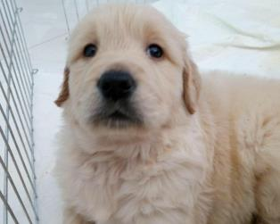 Golden Retriever a Pistoia