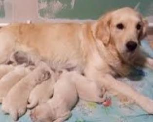 Golden Retriever a Cosenza