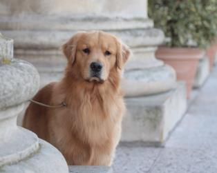 Golden Retriever a Verona