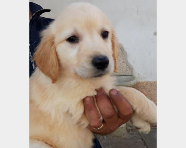 cuccioli di golden retriever