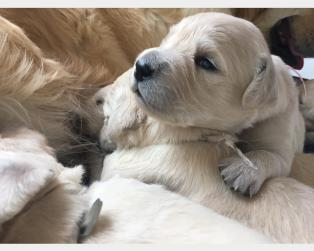 Vendita Cani Taglia Media: Cuccioli Golden retriever disponibili