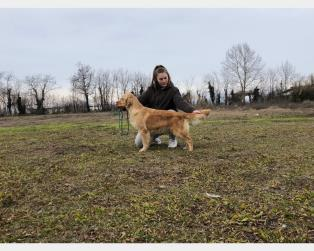 Golden Retriever a Bergamo