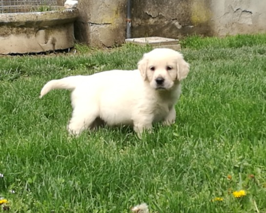 Golden Retriever a Reggio Emilia
