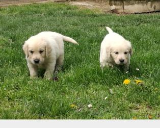 Cuccioli Di Golden Retriever Da Allevatori Italiani