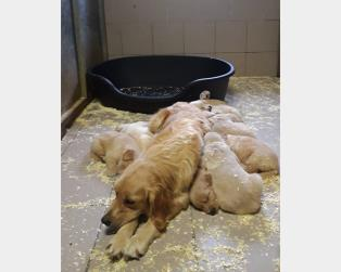 Golden Retriever a Pavia