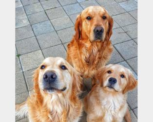 Vendita Cani Taglia Media: La Casa del Golden Retriever