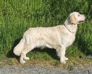 Golden Retriever a Livorno