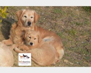 Golden Retriever a Grosseto