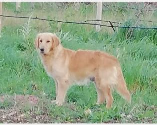 Golden Retriever a Cuneo