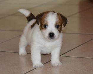 Jack Russell a Catania