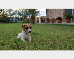 Jack Russell a Macerata