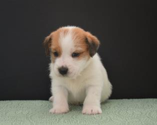 Jack Russell a Salerno