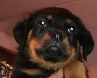 Rottweiler a Chieti