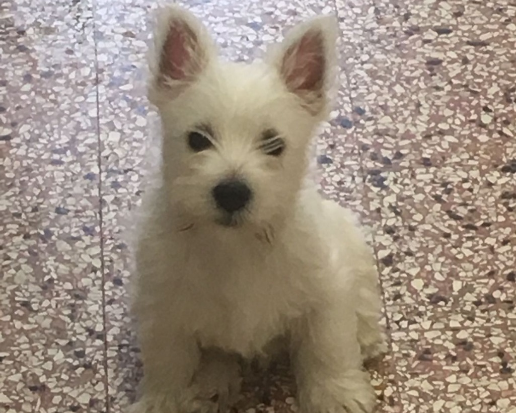 Disponibili cuccuioli WEST HIGHLAND WHITE TERRIER