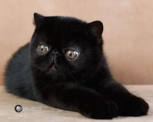 Exotic Shorthair a Imperia