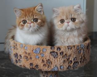 Exotic Shorthair a Roma