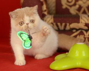 Exotic Shorthair a Milano