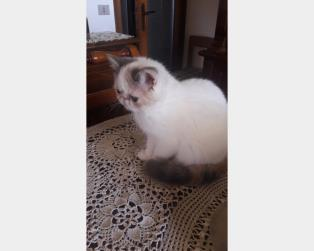 Exotic Shorthair a Belluno