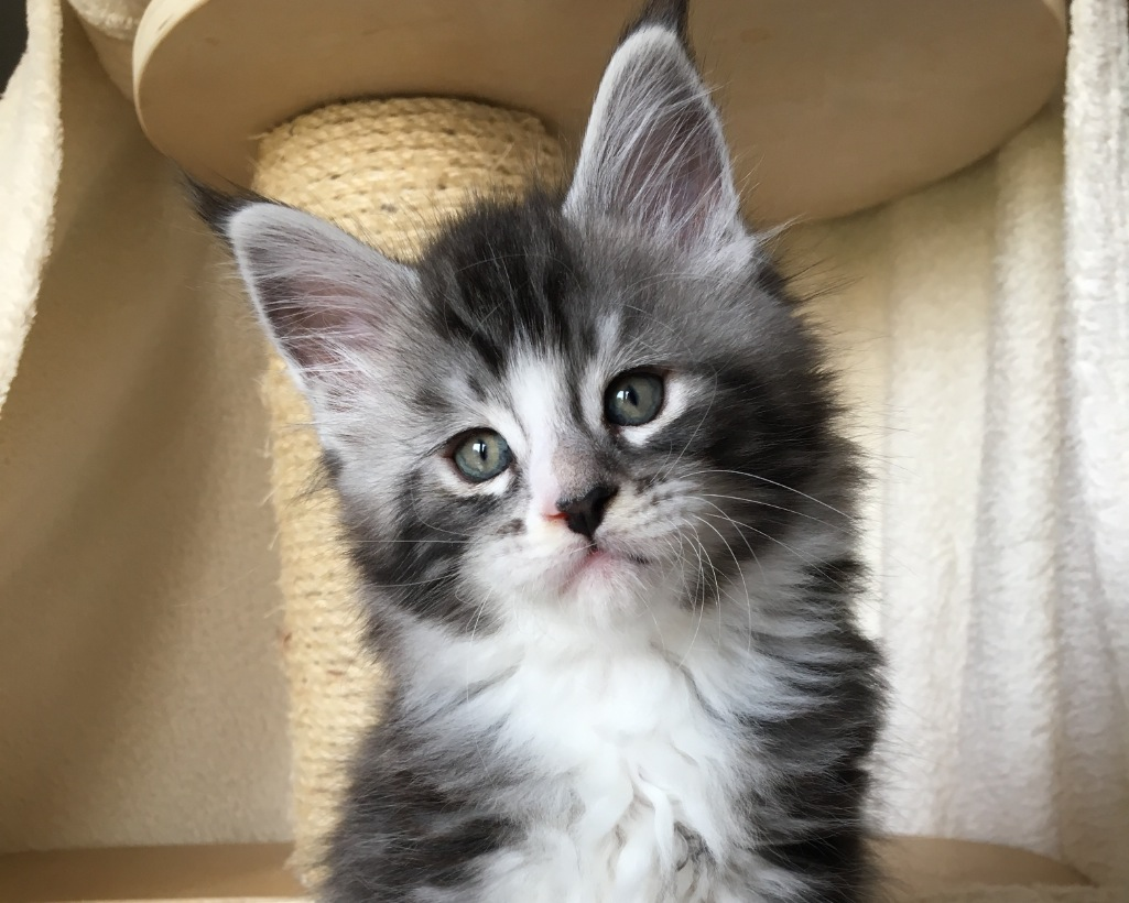 Maine Coon a Pistoia