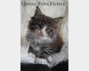 Maine Coon a Lucca