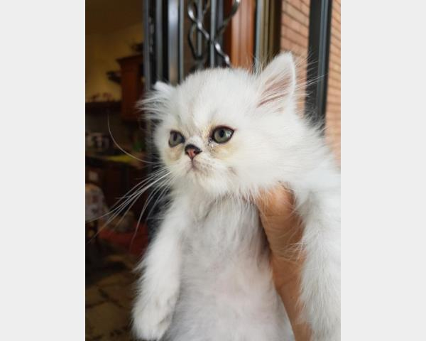 gatto persiano chinchilla' silver shaded cucciolo