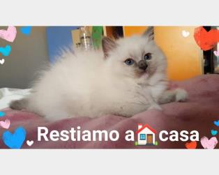 Ragdoll a Messina