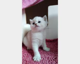 Vendita Gatti Pelo Corto: Scottish Straight shorthair disponibile
