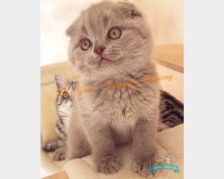 Vendita Gatti Pelo Corto: British Shorthair Scottish Fold