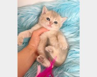 Vendita Gatti Pelo Corto: British Shorthair e Scottish Fold