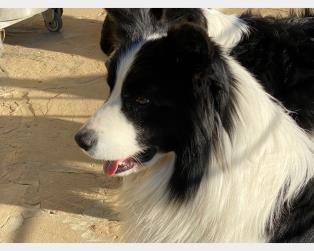 Border Collie a Bergamo