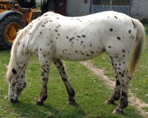 Appaloosa  femmina