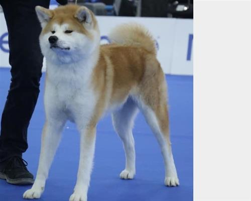 Cucciolo di Akita Inu  maschio e femmina fulvo , pelo  corto , mantello  fitto (close fitting)