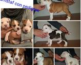 American Staffordshire a Cuneo