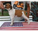 American Staffordshire a Varese