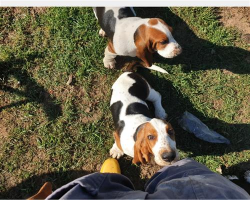 Cucciolo di Bassethound  maschio marrone , pelo  corto
