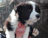 Border Collie a Massa